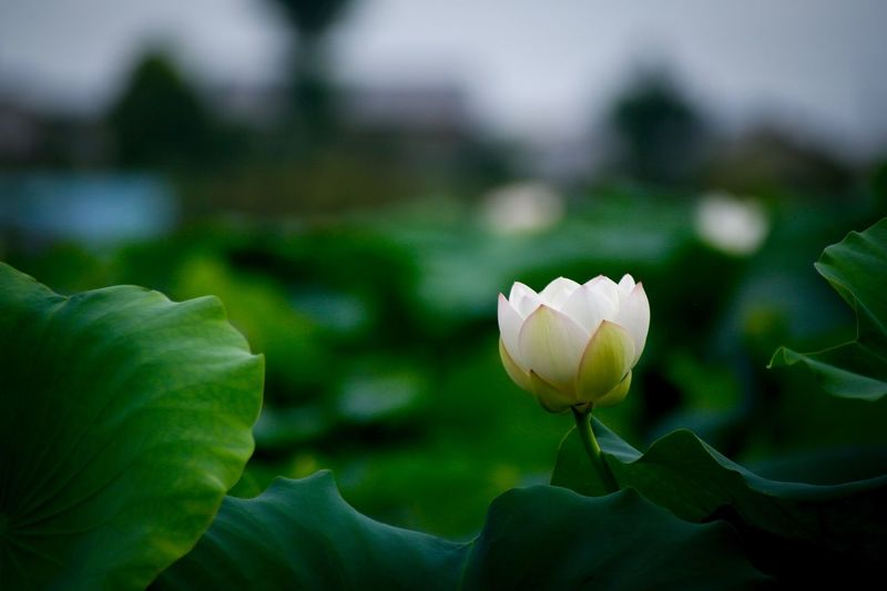 Flower Petal Nature Beauty In Nature Growth Freshness Flower Head Fragility Focus On Foreground Plant Blooming Close-up Leaf Day Outdoors No People Lotus Water Lily Lotus Lotus Flower Lotus Leaf