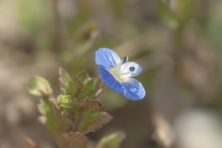 Close-up of blue flower against blurred background