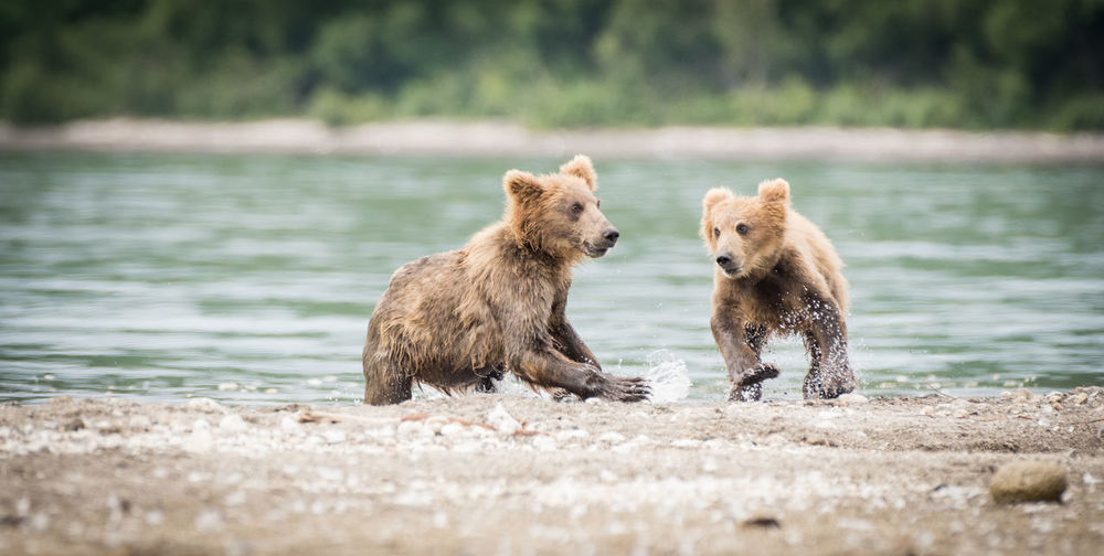 Bear Cubs At Riverbank