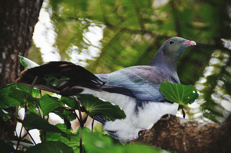 Nature Bird No People Close-up Pigeon Wood Pigeon Kereru Bush New Zealand Wild