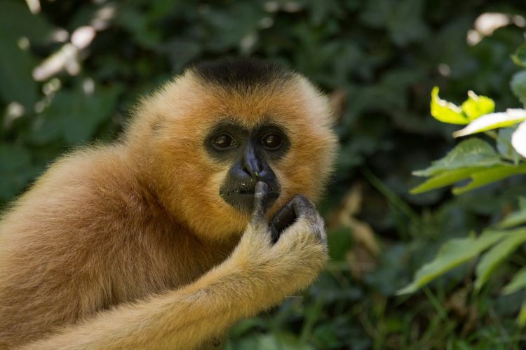 Close-up of gibbon at zoo