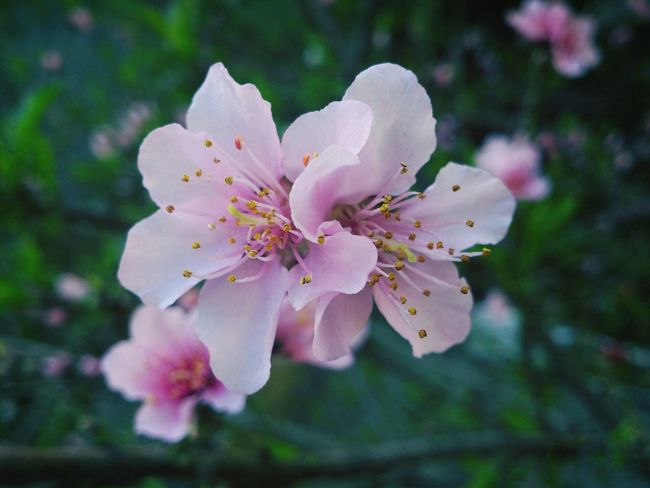 Flowerporn Peach Blossom Nature_collection
