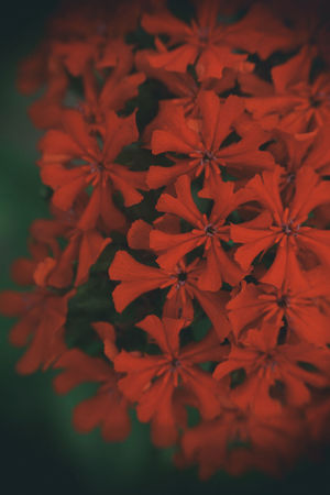 Flamin' Beauty In Nature Close-up Day Flower Flower Head Fragility Freshness Group Growth Multitude Nature No People Outdoors Plant Red Summer
