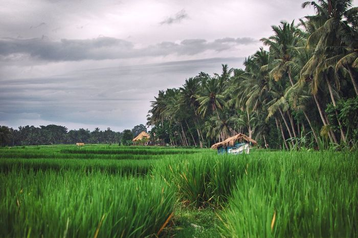 Nature Tree Green Color Tranquil Scene Sky Growth Tranquility Beauty In Nature Scenics Paddy Field Palm Tree Field Rural Scene Farm Cloud - Sky Outdoors No People Landscape Rice Paddy Day Ubud Bali INDONESIA Indonesia_photography Indonesia_allshots