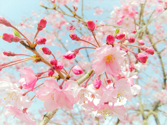 Beauty In Nature Blossom Branch Cherry Blossoms Cherryblossom Close-up Day EyeEm Nature Lover Flower Flower Head Fragility Freshness Growth Low Angle View Nature No People Outdoors Petal Pink Color Plant Sky Springtime Tree