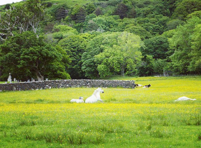 A scenic meadow IsleofMull Animals Horses Whitehorses Scotland Innerhebrides Meadow Naturephotography Naturephotographer Scenery Wildlife Island Niceview Calgarybeach Specialplaces Peacefull Stay White Green Nature Picturesque Outdoor Hiking Explore JustMe