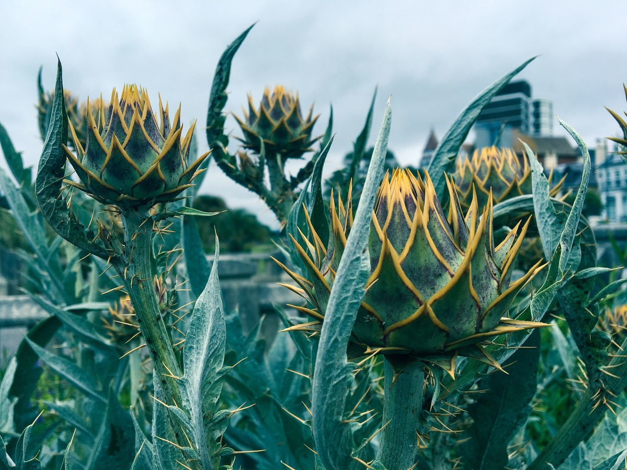 Close-up of spiked flower buds against sky