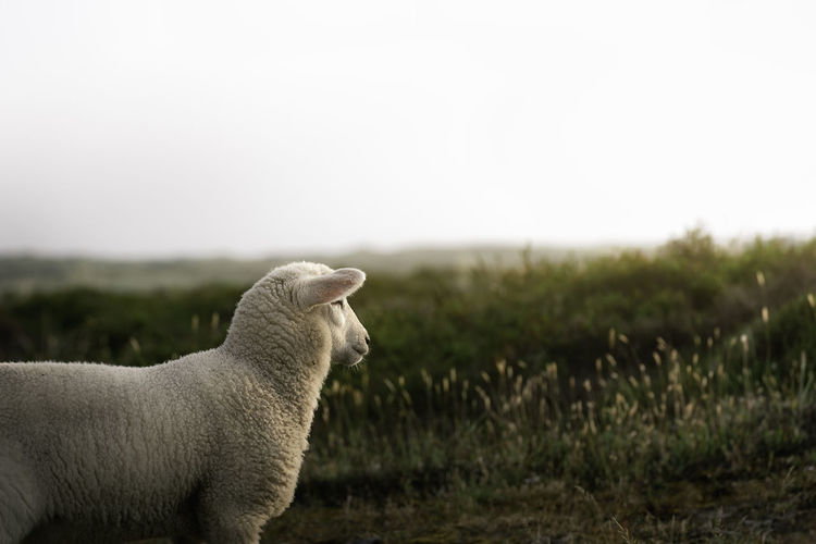 Lamb looking at horizon and sun, in green moss dunes, on sylt island, north sea, germany