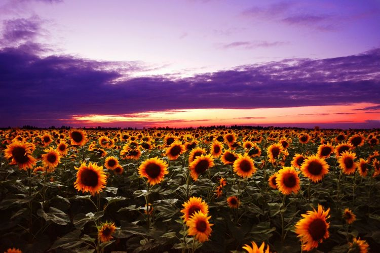 Flower Growth Field Nature Beauty In Nature Plant Sunset Crop  Flower Head Tranquility Botany Sky Uncultivated Outdoors Agriculture Rural Scene Purple Abundance Dusk Sunflower