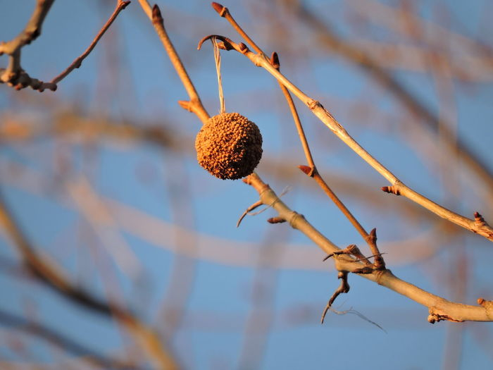 syacmore seed ball Close-up Day Focus On Foreground Fruit Low Angle View Nature No People Outdoors Sky Sunlit