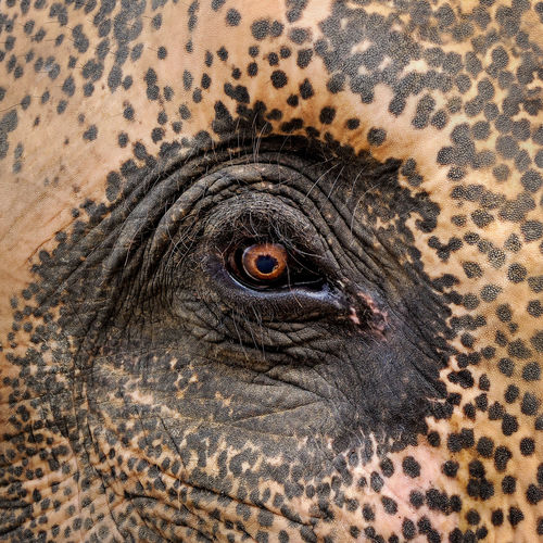 Eye of elephant.