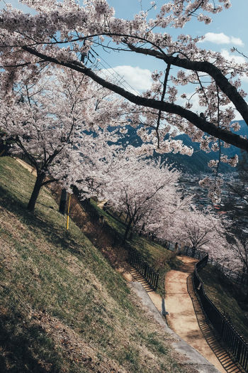 Sakura Tree Plant Nature Beauty In Nature Springtime Growth Blossom Flower Flowering Plant Day Branch Cherry Blossom Outdoors No People Road Fragility Architecture Footpath Sky Freshness Cherry Tree Sakura Sakura Blossom Sakura Trees