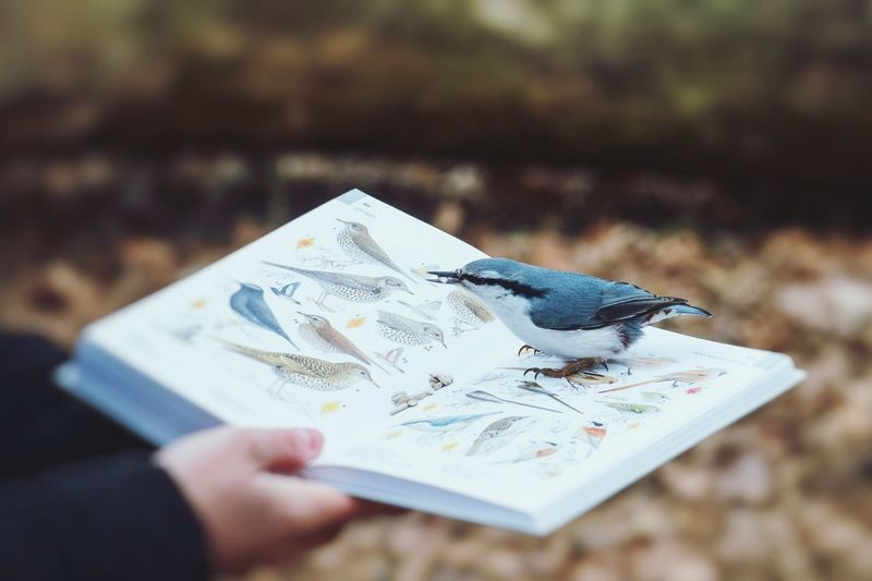 Bird nuthatch on birding guide in autumn Park. Birding book Book Guide Birding Birdwatching Birding Bird Photography Birdwatcher Bird Nuthatch Bird Bird Photography Birds Of EyeEm  Human Hand Holding Close-up Literature Knowledge Page