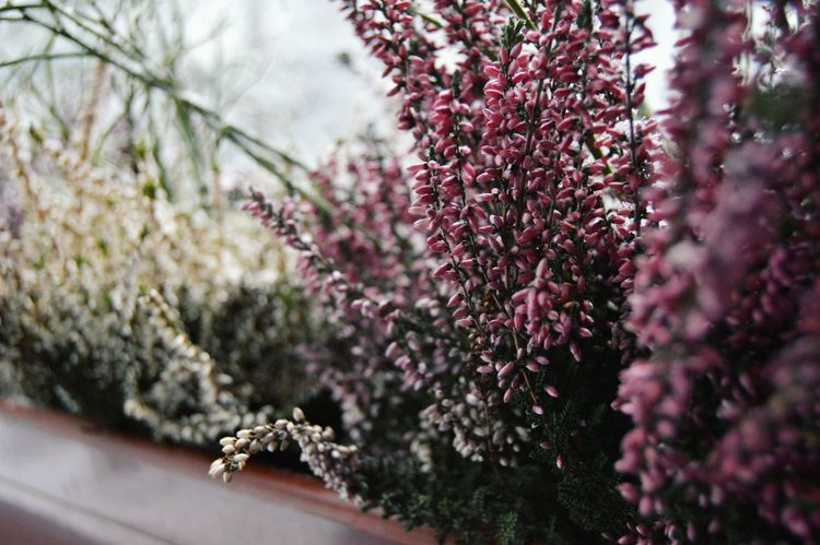 Lavender outdoors Flower Nature Growth Beauty In Nature Plant Blossom No People Freshness Fragility Close-up Flower Head Tree Springtime Outdoors Day Macro Close—up Shot Tampere Pyynikki Tower Lavender Winter Cold First Eyeem Photo