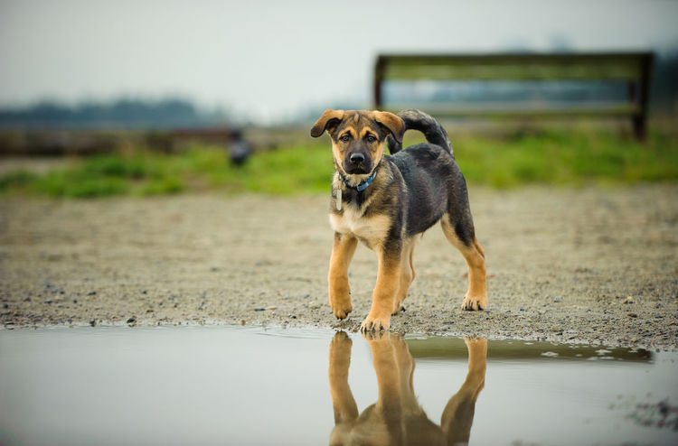 Mixed breed dog Animal Themes Canine Day Dog Domestic Animals Mix Mix Breed Mutt No People Outdoors Pet Photography Puddle Puppy Rain Reflections