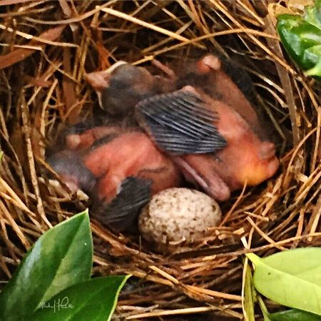 2015 | Baby Robins in my bushes of my former home | Photo: Michael F. Pichette Taking Photos Virginia Baby Birds