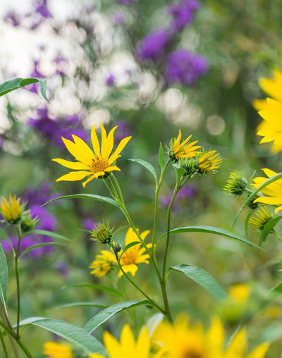 Closeup of yellow blooms on Compass Plant - midwestern native prairie plant Compass Plant Habitat Natural Close-up Colorful Environment Flower Flowering Plant Growth Habit Native Prairie Plants Petal Plant Pollination Yellow