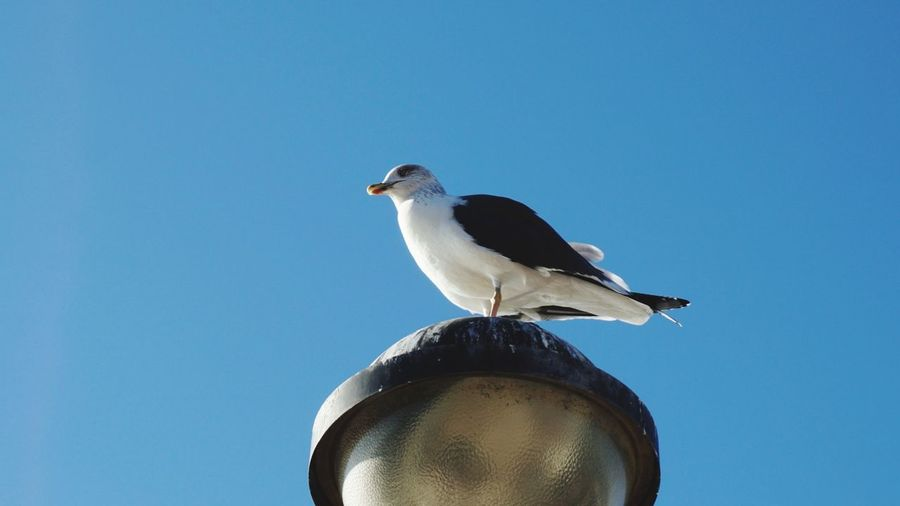 Seagull Lamp Post Sony Sonyalpha Sonya5100 Sonyforher With Love Portugal Winter Favorite Color Bird Blue Perching Clear Sky Animal Wildlife Animals In The Wild Sunny One Animal No People Animal Themes Sky Food Low Angle View Mourning Dove Close-up Outdoors Day