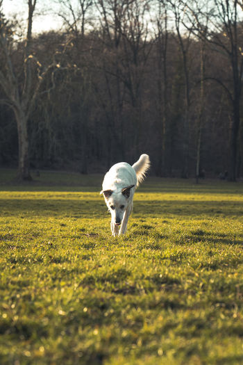 Beautiful white dog on a meadow in a public park on a sunny day. One Animal Animal Themes Mammal Animal Domestic Domestic Animals Pets Dog Canine Vertebrate Plant Field Land No People Nature Tree Day Grass Running Selective Focus Outdoors Animal Head