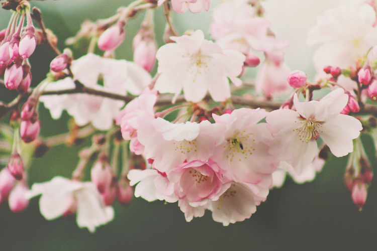 Close-Up Of Pink Flowers Blooming On Branch