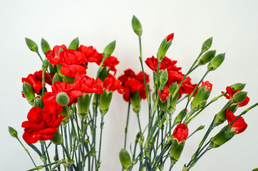 red carnations Beauty In Nature Blooming Carnation Flowers Close-up Detail Flower Flower Head Fragility Fresh On Eyeem  Freshness Getting Creative Green Color Growth Minimalism Nature Petal Plant Red Simplicity Still Life Studio Shot TheWeekOnEyeEM White Background