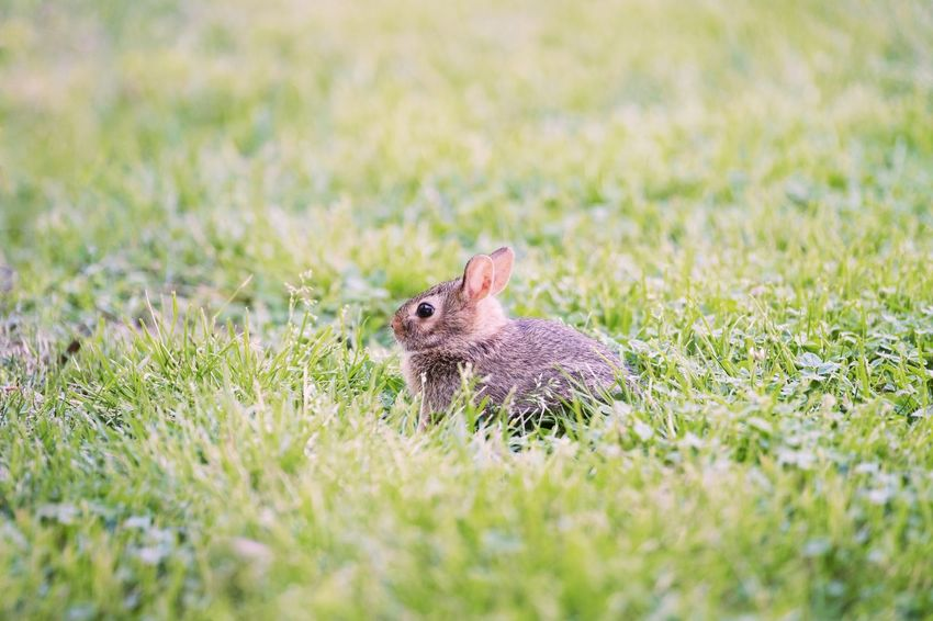 A small bunny Baby Animals Bunny  Animal Animal Wildlife Animal Themes Animals In The Wild Mammal One Animal Grass No People Selective Focus Vertebrate Day Close-up Beauty In Nature