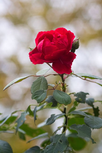 A colourful Rose in the chilly late autumn. Autumn Flowers,Plants & Garden Red Beautful Beauty In Nature Blooming Bokeh Close-up Depth Of Field Flower Flower Collection Flower Head Flower Photography Flowers Fragility Freshness Green Color Growth Leaf Nature Petal Plant Rose - Flower Roses Rose🌹