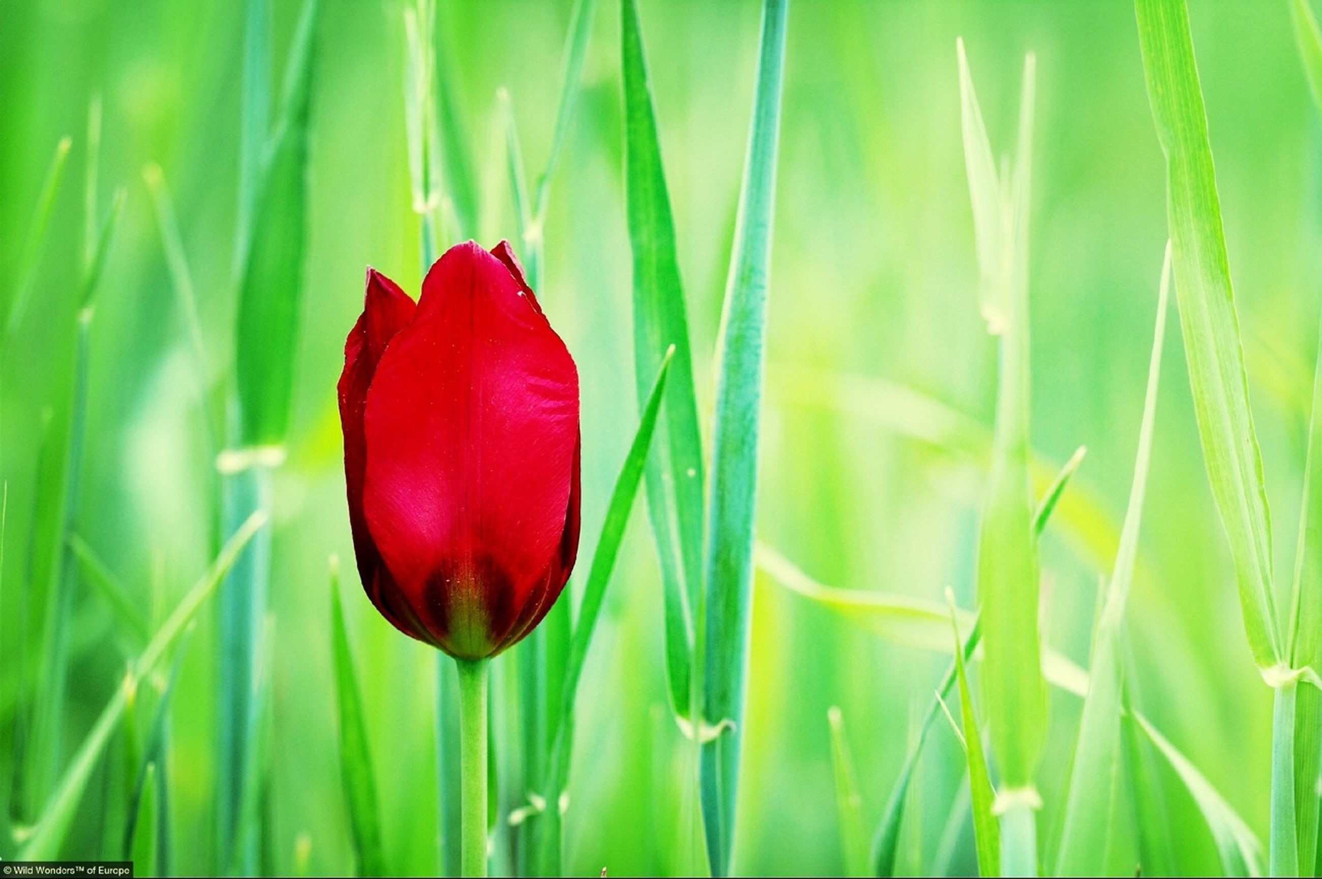 red, growth, freshness, plant, beauty in nature, flower, close-up, green color, nature, grass, field, fragility, stem, focus on foreground, poppy, bud, growing, selective focus, petal, leaf