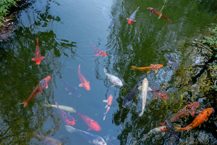 EyeEmNewHere Japanese Garden Koi Animal Themes Carp Chinese Garden Close-up Day Fish Group Of Animals High Angle View Koi Carp Koi Pond Large Group Of Animals Nature No People Outdoors Pond School Of Fish Sea Life Swimming Water