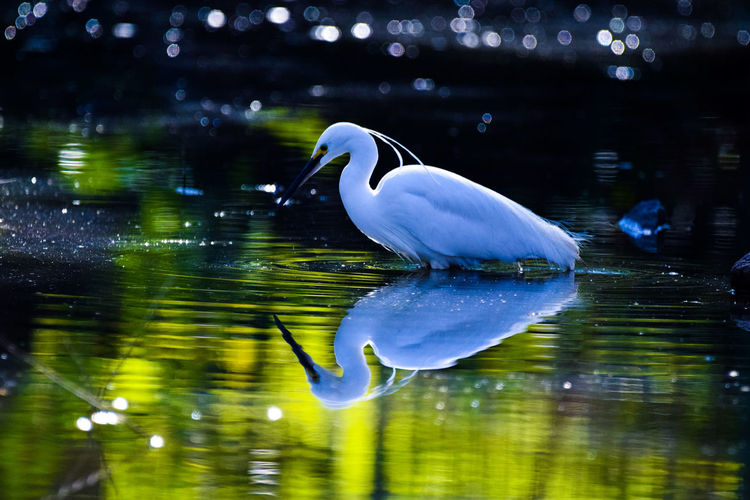 mirror Wildlife Nature Animal Wildbird Wildbirds Animal Themes Birds Bird Little Egret Egret White Bird Bird Water Lake Swimming Reflection UnderSea Full Length Standing Water Freshwater Bird