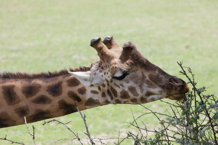 Close-Up Of Giraffe Eating Branches