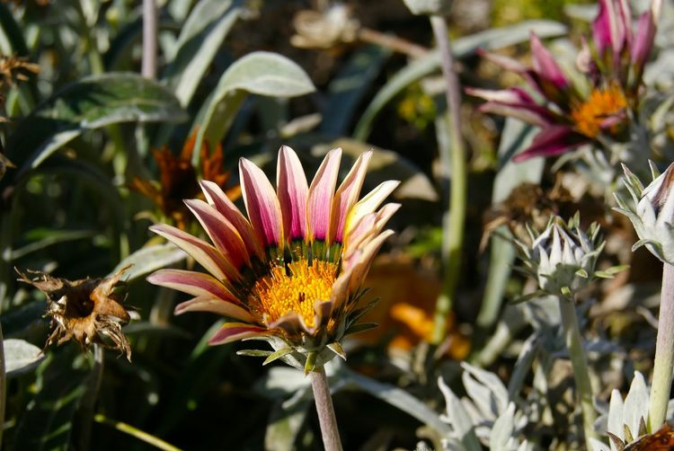 Close-Up Of Gazania Blooming In Park