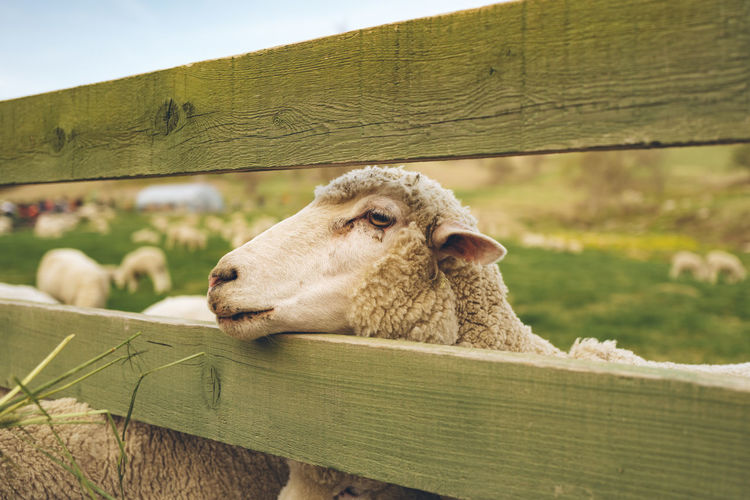 Close-up of sheep in animal pen