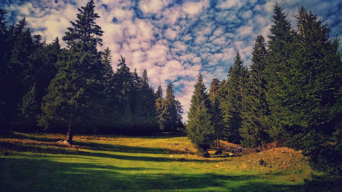 Blue Sky And Clouds Pine Woodland Forest Light And Shadow Mountains And Valleys Clouds And Sky Prairie Tree Sky Grass WoodLand Forest Fire Coniferous Tree Birch Tree Evergreen Tree Pinaceae Spruce Tree Pine Tree Woods Tree Trunk