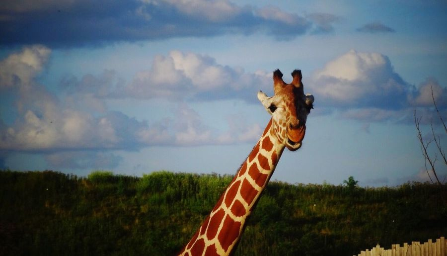 Giraffe with blue sky background. Sky Cloud - Sky Animal Themes Mammal One Animal Giraffe Day Outdoors Nature No People Landscape Domestic Animals Beauty In Nature Tree Tall Large Animal Wildlife Animals In The Wild Animal Zoo Animals  Beauty In Nature The Still Life Photographer - 2018 EyeEm Awards