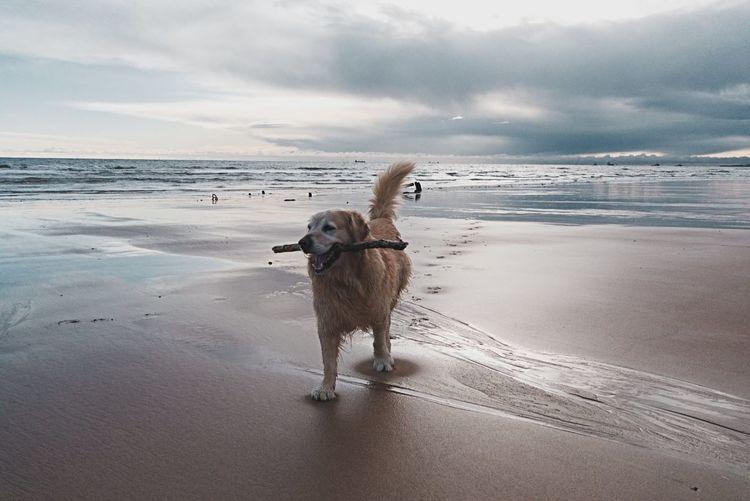 Walks at Balmedie Scotland Swimming Aberdeenshire Balmedie Beach Golden Retriever Beach Dog Sea Water Sand Outdoors Pets Wet Cloud - Sky Landscape Beauty In Nature Nature Wave Horizon Over Water Mammal