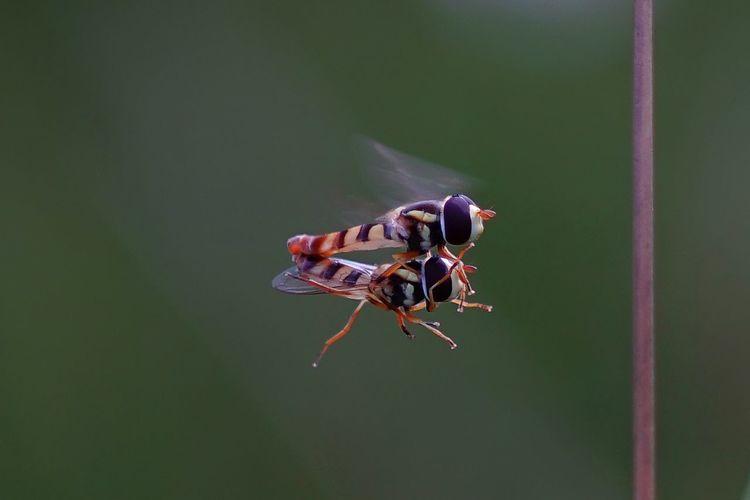 matting fly Macro Photography #macro Full Length Insect Animal Themes Close-up Housefly Pest Rat Arachnid Bee Fly Honey Bee