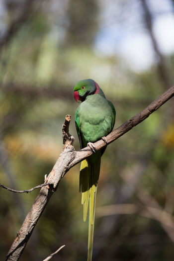 Australia Animal Themes Animal Wildlife Animals In The Wild Beauty In Nature Bird Branch Close-up Day Focus On Foreground Green Color Nature No People One Animal Outdoors Perching Tree Pet Portraits