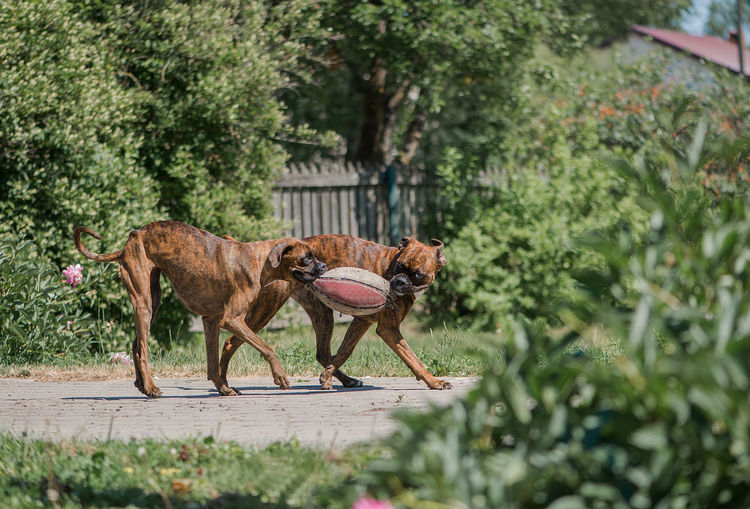 Two beautiful boxer dogs playing with old ball in the summer garden
