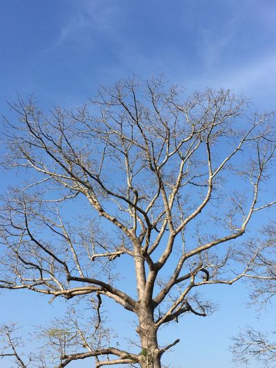 Pohon tua di kuburan Blora Branch Low Angle View Nature Bare Tree Blue Day Outdoors No People Beauty In Nature Sky Pohon Tua Kayu Pohonrandu Doplang Blora INDONESIA Kering Nature ALaM Wild Bird Wildlife Old First Eyeem Photo