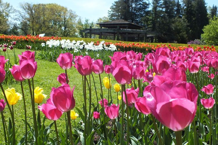 Beauty In Nature Blooming Botany Colorful Garden Field Flowers Flowers, Nature And Beauty Flowers,Plants & Garden Garden Flowers Garden Photography Gardens No People Outdoors Pink And Yellow Flower Pink And Yellow Tulips Pink Color Pink Flowers Purple Flowers Sky Spring Flowers Tulipmania Tulips Tulips Flowers Tulips In The Springtime Yellow Flowers