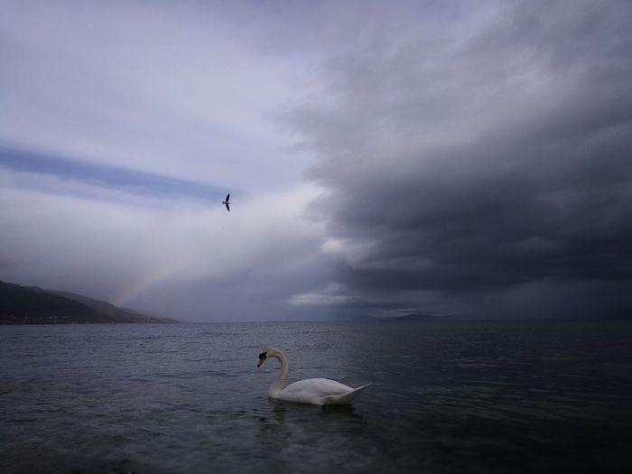 Beautiful nature Animal Wildlife Leicacamera HuaweiP9 Albania Nature Swan EyeEmNewHere Rainbow