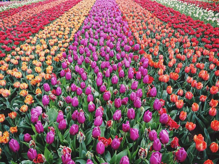 Tilips field, beautiful flowers Fresh Yellow Flowers Pink Flowers Red Flower Colourfull Season  Spring Flowers Spring Blossoms  Garden Flowering Plant Flower Plant Freshness Multi Colored Beauty In Nature Growth Pink Color Field Land Abundance Vulnerability  Nature Fragility Flowerbed High Angle View Flower Head Tulip No People Day