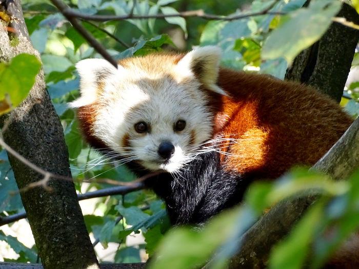 Animal Animal Themes Animal Photography Red Panda Panda - Animal Tree Portrait Looking At Camera Close-up