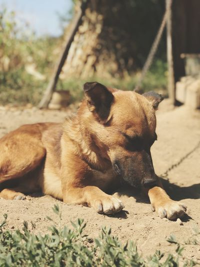 EyeEm Best Shots One Animal Animal Themes Animal Mammal Vertebrate Relaxation Pets Dog Canine Land Domestic Animals Domestic No People Nature Day Sunlight Focus On Foreground Lying Down Sitting Looking Nature Sunlight Resting Land My Best Photo