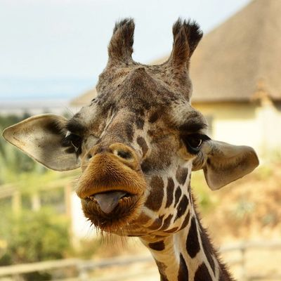 Giraffe Animal Themes One Animal Animal Wildlife Fauna Friguia  Zoo Photography  Zoo African Wildlife Animal Animals In The WildAnimals In The Wild Africa Day To Day Africa North Africa Nature Mammal Safari Animals Tonguesout Tongue Tongue Out Face Animal Body Part Giraffe Portrait
