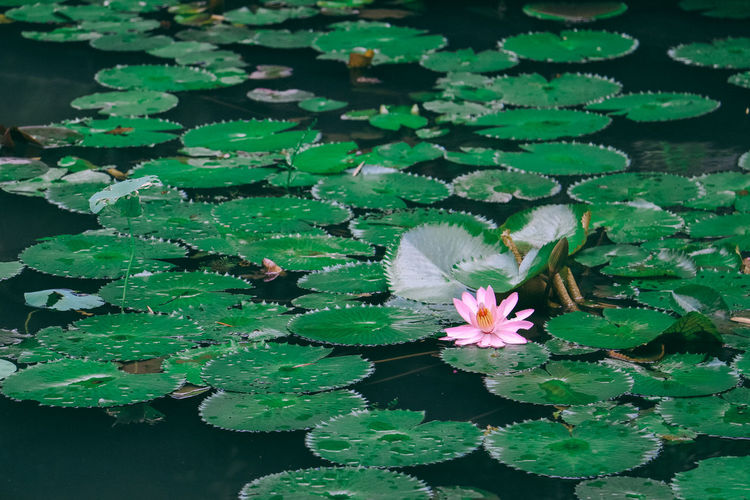 Beauty In Nature Blooming Close-up Day Floating On Water Flower Flower Head Fragility Freshness Green Color Growth High Angle View Leaf Lily Pad Lotus Lotus Water Lily Nature No People Outdoors Petal Plant Pond Water Water Lily