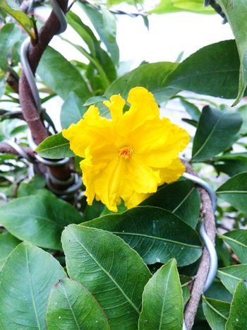 Yellow Yellow Flower Photography LGg3photography Nature Lover Camera Flowers Colour Of Life Summertime