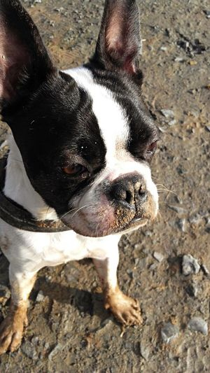 Dog Pets Boston Terrier Outdoors Dirty Dog Dog Love Cute EyeEmNewHere