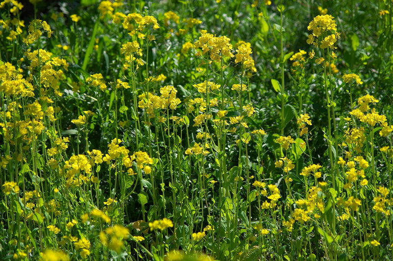 Yellow Flower Flowering Plant Plant Beauty In Nature Growth Field Freshness Fragility Vulnerability  Land Agriculture Full Frame Abundance No People Nature Landscape Rural Scene Close-up Day Outdoors Springtime Flower Head Flowerbed
